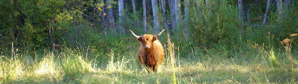Highland cow on range